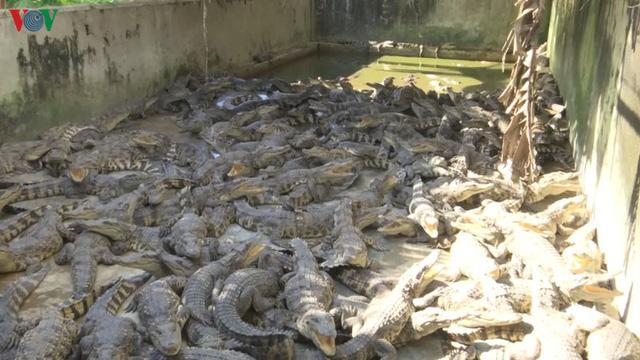 Bạc Liêu: Cá sấu rớt giá, người nuôi lỗ nặng - Ảnh 1.