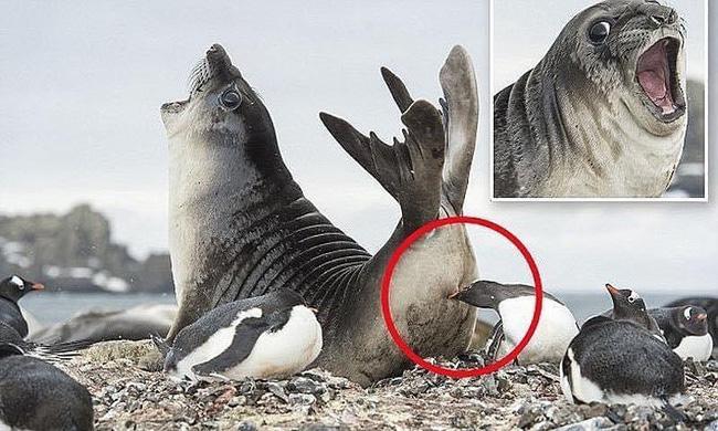 Lấy thịt đè người thất bại, chú hải cẩu hốt hoảng khi bị chim cánh cụt đớp bất ngờ sau mông, và gương mặt ấy đang nổi nhất thế giới động vật - Ảnh 1.