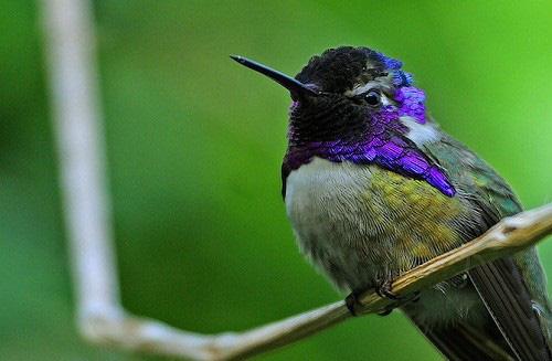 1001 thắc mắc: Loài chim nào có thể bay lùi, được mệnh danh là 'phi cơ thần tốc'? - Ảnh 1.