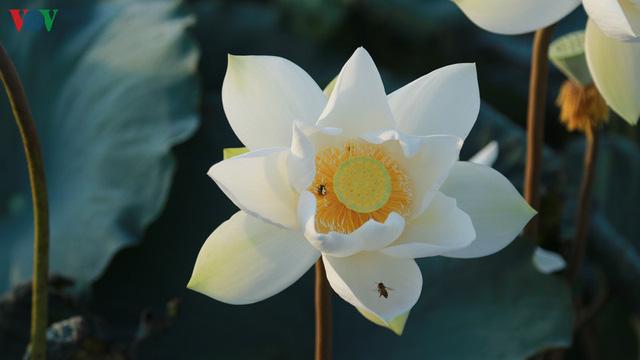 Đầm sen trắng hiếm có, giúp chủ đầm thu tiền triệu mỗi ngày ở Hà Nội - Ảnh 3.