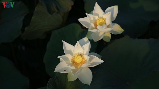 Đầm sen trắng hiếm có, giúp chủ đầm thu tiền triệu mỗi ngày ở Hà Nội - Ảnh 10.