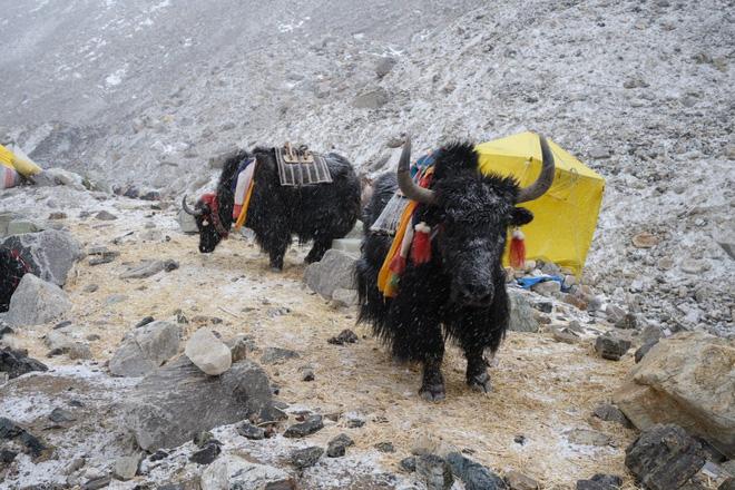 Không phải chó ngao, loài vật này mới là báu vật của Tây Tạng với công dụng toàn năng, bất kỳ bộ phận nào cũng có thể đẻ ra tiền - Ảnh 2.