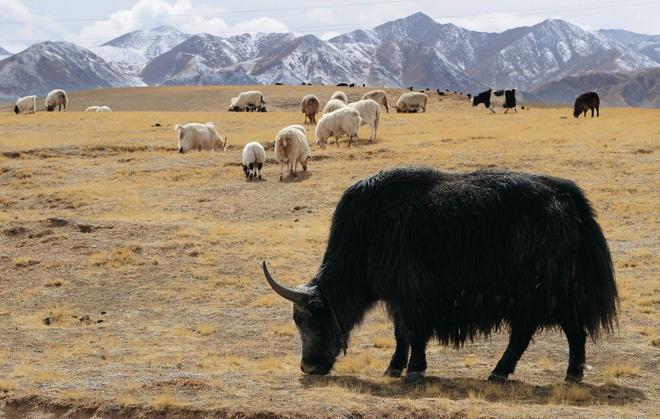 Không phải chó ngao, loài vật này mới là báu vật của Tây Tạng với công dụng toàn năng, bất kỳ bộ phận nào cũng có thể đẻ ra tiền - Ảnh 3.