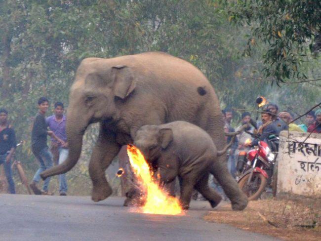 Thêm hình ảnh gây phẫn nộ tột cùng: Mẹ con nhà voi vào làng xin ăn, bị dân ném cầu lửa và đá xua đuổi không thương tiếc - Ảnh 2.
