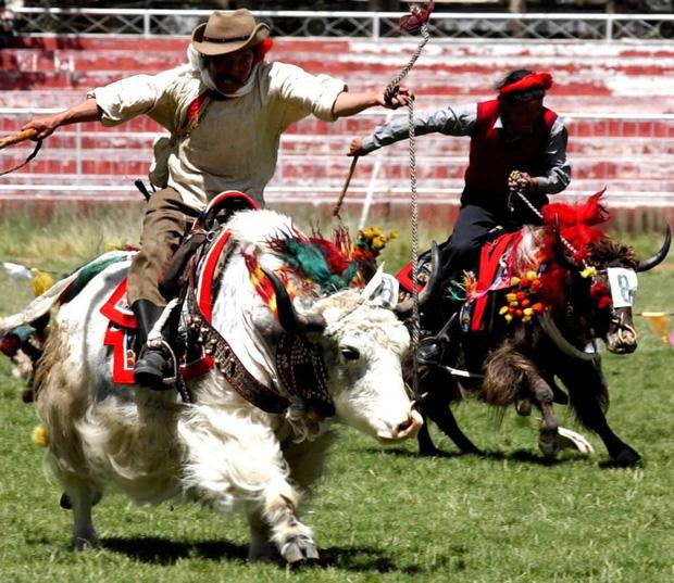 Không phải chó ngao, loài vật này mới là báu vật của Tây Tạng với công dụng toàn năng, bất kỳ bộ phận nào cũng có thể đẻ ra tiền - Ảnh 5.