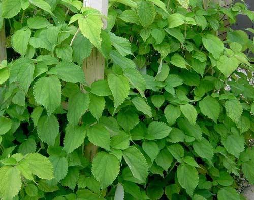 Cây củ gai được dùng trong vị thuốc của anh Khai.