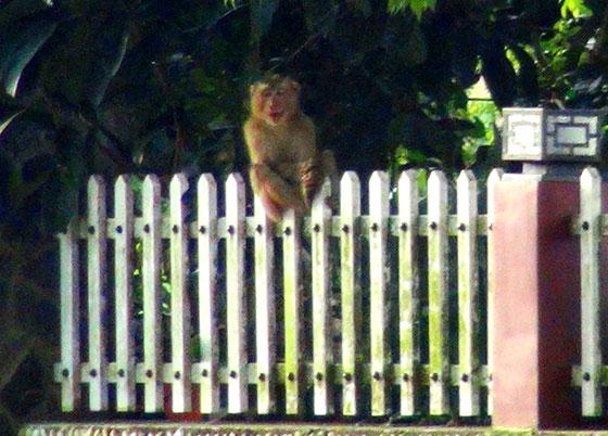 Con khỉ ngồi trên hàng rào một nhà dân