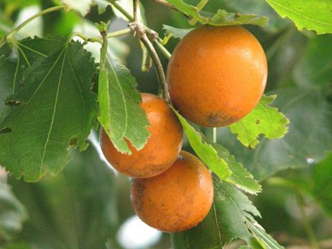Những loại quả chứa nhiều độc tố