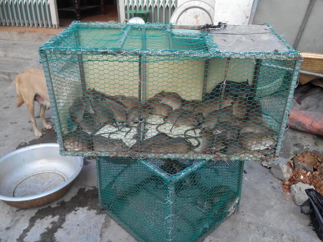 Khách mua có thể thoải mái lựa chọn chuột đồng sống hay đã được làm sạch, tùy theo ý muốn của bản thân.