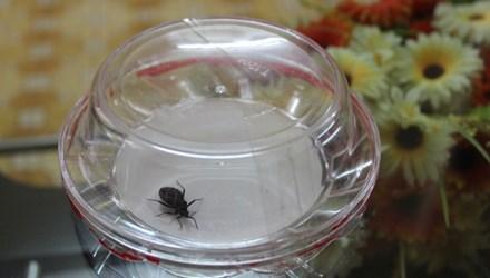 Con bọ xít cái được phát hiện tại nhà ông Quang ở đường Vương Thừa Vũ, Thanh Xuân, Hà Nội. Ảnh: Nguyễn Hoài