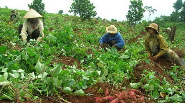 Các chuyên gia nông nghiệp cho biết nếu cắt lá sớm thì năng suất khoai lang sẽ giảm tới 50%. (Ảnh: Tuổi Trẻ)