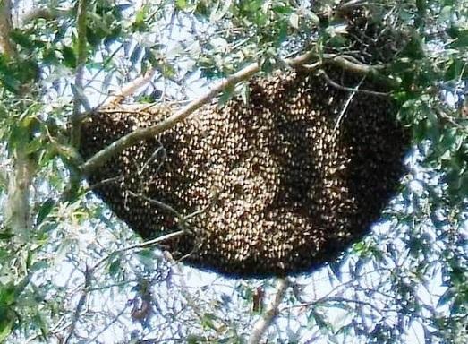 Báo động những cái chết do bị ong đốt