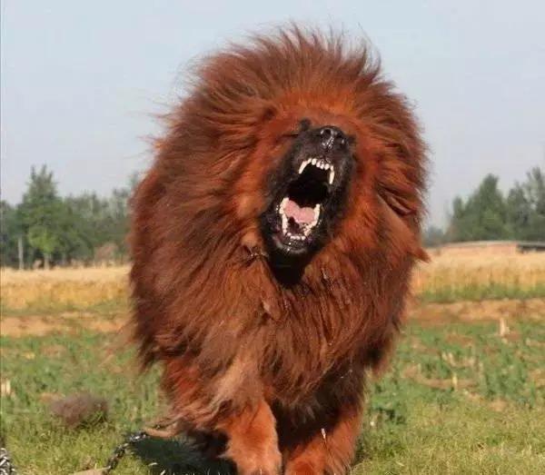 Chó ngao Tây Tạng có vẻ ngoài khá giống một con sư tử