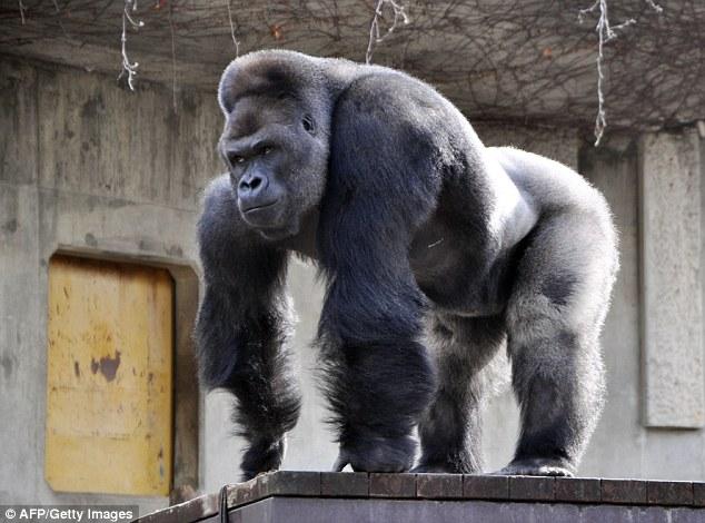 """Chú khỉ đột Shabani thu hút một lượng lớn người hâm mộ là nữ giới bởi vẻ bề ngoài được miêu tả là """"đẹp trai""""."""