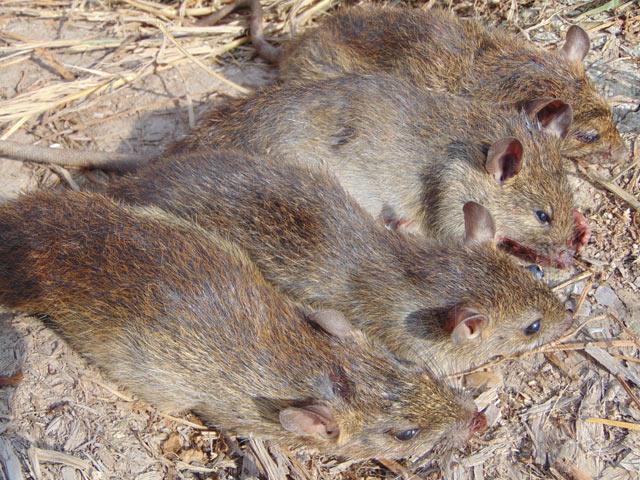 Những chú chuột đồng ú và thịt thơm ngon.