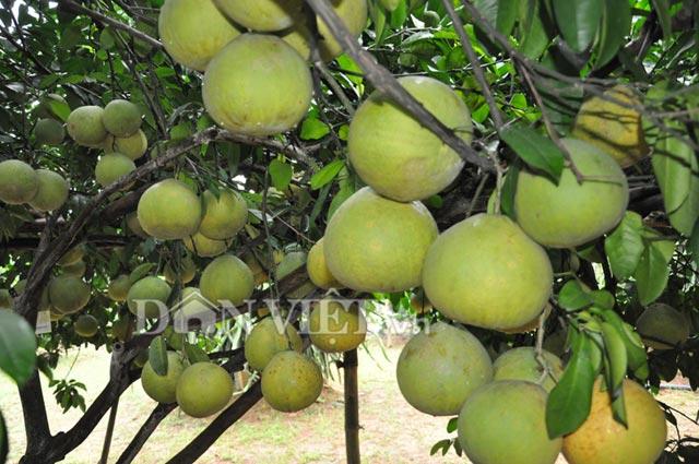 Có tới hơn 800 quả trên cây nhưng quả nào cũng đẹp và to đều nhau.