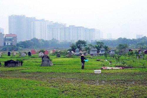 Nghĩa địa nằm trên phường Cổ Nhuế (Bắc Từ Liêm, Hà Nội) từ lâu đã được người dân tận dụng trồng rau muống. Tại đây, rau được trồng cạnh những ngôi mộ, khá xanh tốt.