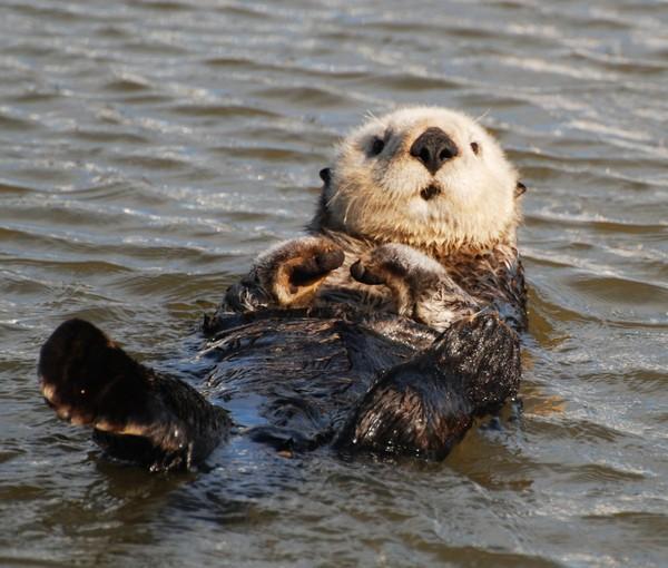 Rái cá - otter thuộc nhóm động vật có vú, với 13 loài khác nhau phân bố khắp nơi trên thế giới, ngoại trừ Bắc Cực và Úc. Đã có nhiều bằng chứng cho rằng rái cá xuất hiện trên Trái đất từ 5 triệu năm trước
