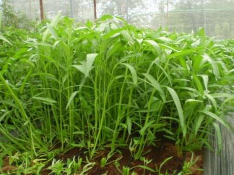 Trong rau muống thường có một loại sán ký sinh cư trú có tên Fasciolopsis buski. Khi dùng rau ăn lẩu hoặc nấu chưa chín tới thì loài ký sinh này sẽ chưa thể bị tiêu diệt.