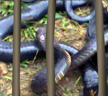 Con rắn dài gần 3m tấn công khiến 1 người tử vong tại Quảng Nam. Ảnh: Công an Đà Nẵng