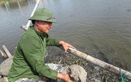 Anh Quynh chăm sóc ao cá lóc đầu nhím. Ảnh: Dân việt