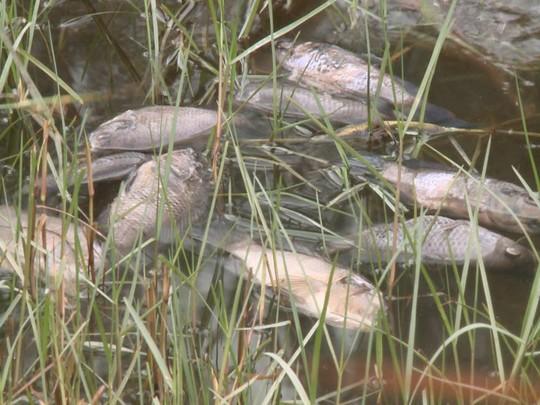 Cá nuôi của người dân cạnh nhà máy sản xuất sô đa chết trắng hồ Ảnh: Đỗ Vinh