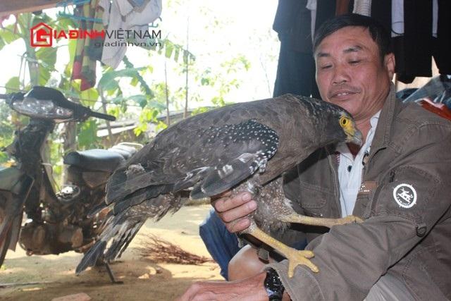 Con chim đại bàng được ông Phận nuôi từ lúc còn non