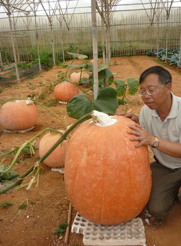 Trái bí ngô nặng 80kg của gia đình ông Lê Hữu Phan ở đường Hồ Xuân Hương, TP Đà Lạt. Ảnh: Khỏe&Đẹp