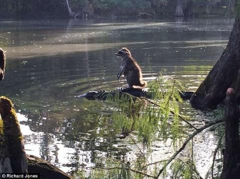 Gấu mèo Mỹ đứng trên đầu cá sấu