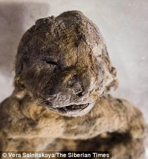 Xác ướp sư tử hang được tìm thấy ở Siberia gây chấn động giới khoa học .