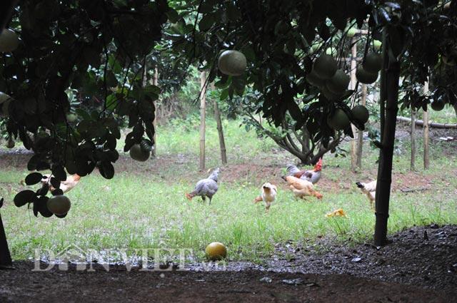 Dưới các tán bưởi, ông Hùng thả thêm gà, ngan để cải thiện bữa ăn gia đình.