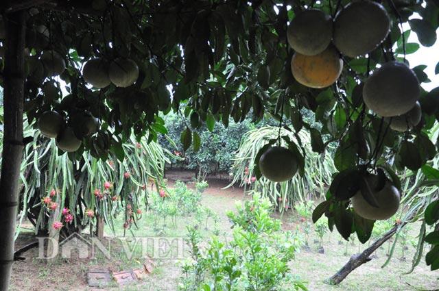 Bên cạnh nhưng cây bưởi sai trĩu quả là các trụ thăng long cho trái chín đỏrực rất đẹp mắt.