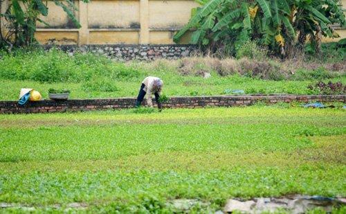 Vào các buổi sáng sớm, người dân thường ra ruộng hái rau để bán chợ sớm.