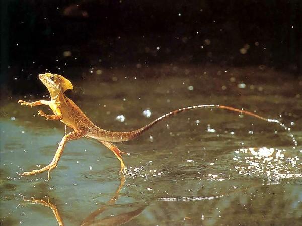 Một con Basiliscus trong tự nhiên.