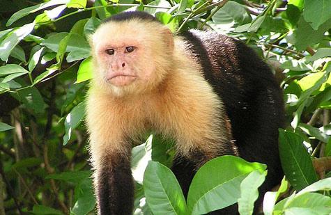 Những con khỉ cái là đối tượng của cuộc săn lùng huyết lình (Ảnh minh họa)