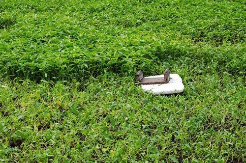 Những dụng cụ hái rau vẫn được để tại ruộng để ngày hôm sau hái tiếp.