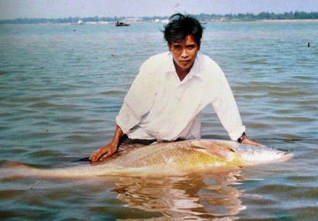 Theo tờ Vietnamnet, ông Đậu Xuân Lới (Tiên Điền, Nghi Xuân, Hà Tĩnh) bắt được tổng cộng 23 con cá sủ vàng, trong đó, con lớn nhất có cân nặng 67kg, được bán với giá 170 triệu đồng. (Ảnh: Pháp Luật TPHCM)