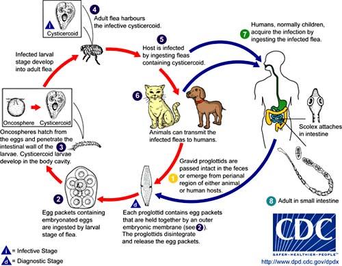 Vòng đời của ký sinh trùng trên vật nuôi và lây nhiễm sang người.