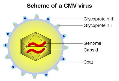 Cấu tạo virus CMV