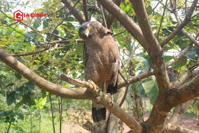 Chủ nhân từ chối bán coi chim đại bàng vì coi nó là người bạn thân thiết của gia đình.