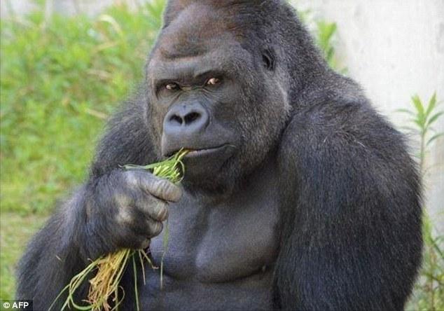 Khi đột Shabani được nuôi dưỡng tại vườn thú Taronga ở Sydney, Australia, nhưng được chuyển tới Nhật Bản năm 2007.