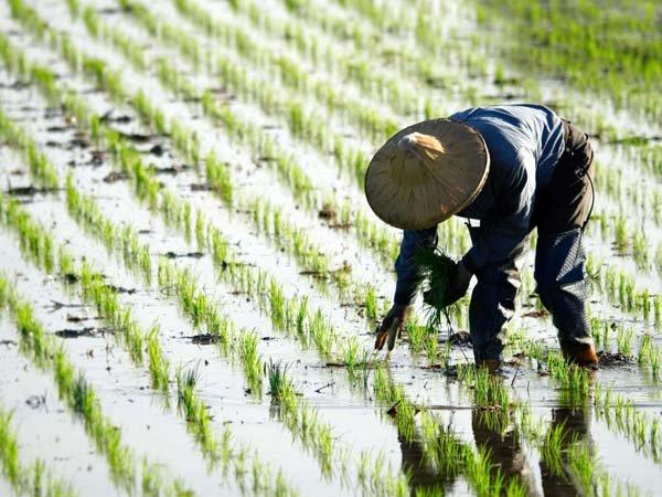 Cảnh đồng lúa ở Trung Quốc.