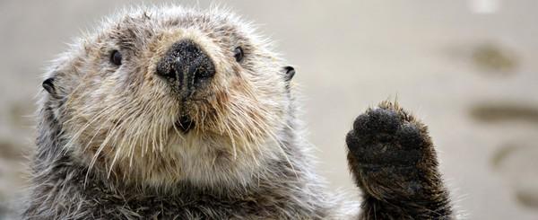 Nhiều người trong chúng ta lầm tưởng rái cá sống dưới nước. Nhưng thực ra chỉ có loài rái cá biển (Sea Otter) là như vậy, các loài còn lại dành phần lớn thời gian ở trên cạn.