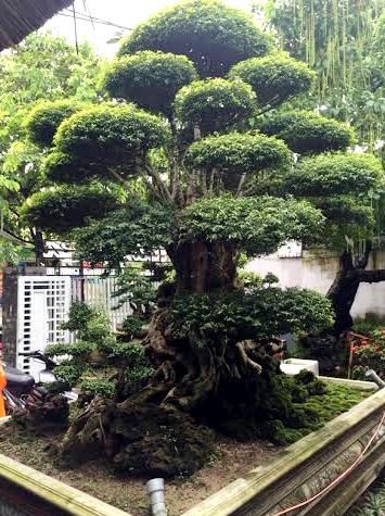 """Cận cảnh """"siêu cây"""" mai chiếu thủy tại TP Huế. Ảnh: Quang Thành/Vietnamnet"""