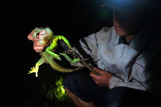 Rồng đất được săn bắt trong vùng rừng núi thuộc xã Lộc Bắc