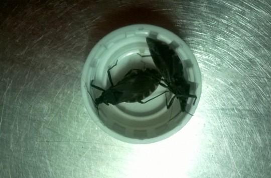 Những con bọ xít hút máu được người dân phát hiện tại Phường 1, quận Gò Vấp. - Ảnh: NVCC