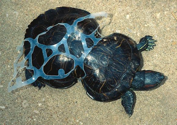 Chú ba ba bé nhỏ tội nghiệp này bị biến hình do mắc kẹt vào một nhựa do con người thải ra một cách bừa bãi xuông sông.