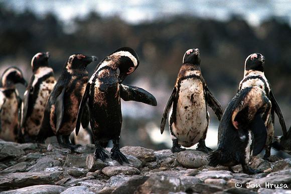 Bầy chim cánh cụt bị nhuộm lông vì nước biển bị ô nhiễm trầm trọng.