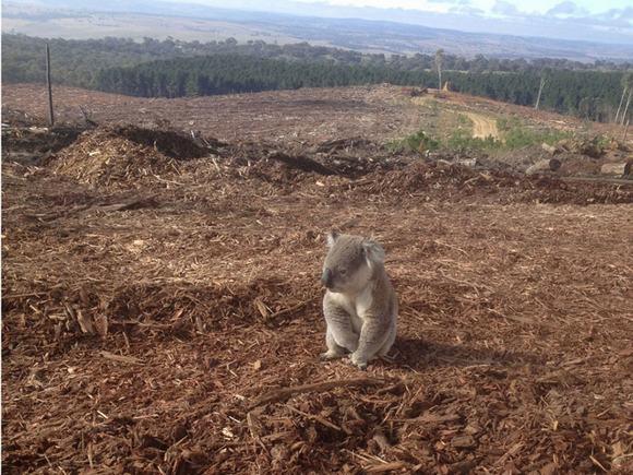 Hình ảnh chú gấu Koala đứng bơ vơ khi môi trường sống bị con người tàn phá khiến chúng ta phải đặt tay lên trán suy nghĩ.