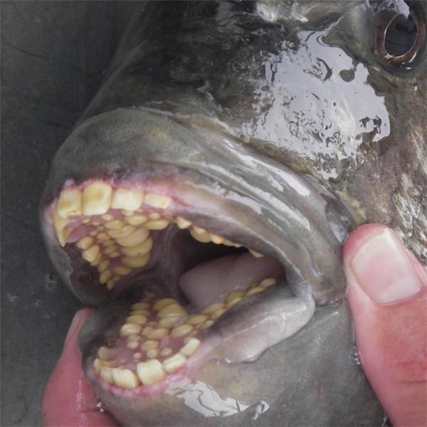 Loài cá tráp có răng giống người.